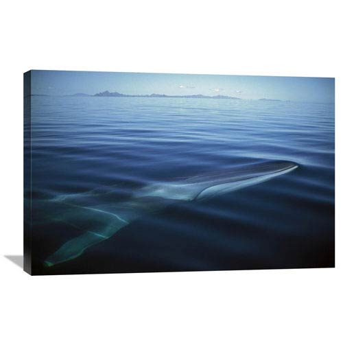 Global Gallery Fin Whale At Winter Feeding Grounds, Sea Of Cortez, Baja California, Mexico By Tui De Roy, 24 X 36-Inch Wall