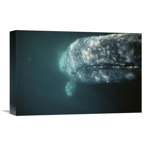 Global Gallery Gray Whale Curious Adult Investigating Underside Of Boat, Baja, Mexico By Tui De Roy, 12 X 18-Inch Wall Art