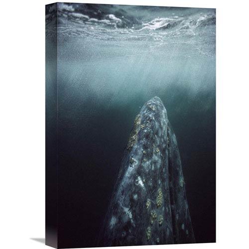 Global Gallery Gray Whale In Breeding Lagoon, Magdalena Bay, Baja California, Mexico By Tui De Roy, 18 X 12-Inch Wall Art