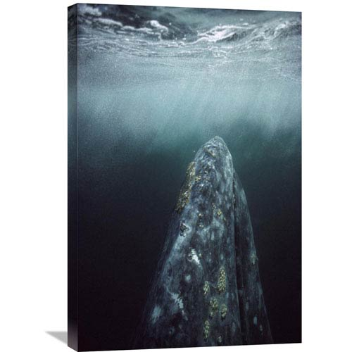 Global Gallery Gray Whale In Breeding Lagoon, Magdalena Bay, Baja California, Mexico By Tui De Roy, 30 X 20-Inch Wall Art
