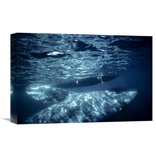 Global Gallery Gray Whale Calf With Tourist Reaching Underwater, Magdalena Bay, Baja, Mexico By Tui De Roy, 12 X 18-Inch Wall