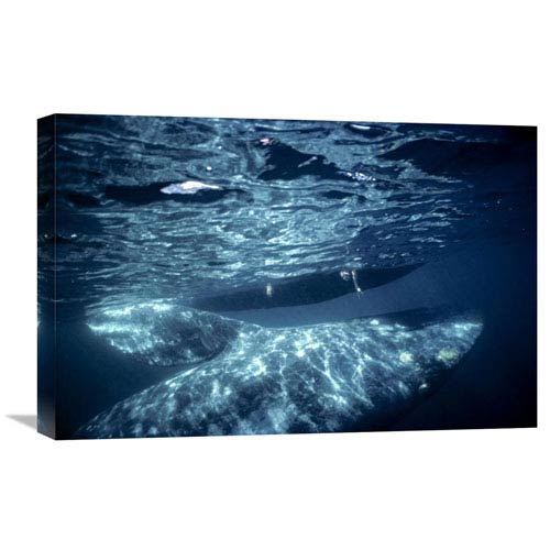 Global Gallery Gray Whale Calf With Tourist Reaching Underwater, Magdalena Bay, Baja, Mexico By Tui De Roy, 16 X 24-Inch Wall
