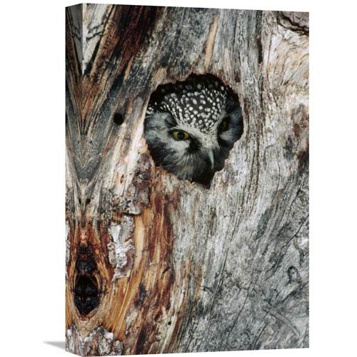 Global Gallery Boreal Owl In Tree Cavity In The Winter, Alaska By Michael Quinton, 18 X 12-Inch Wall Art