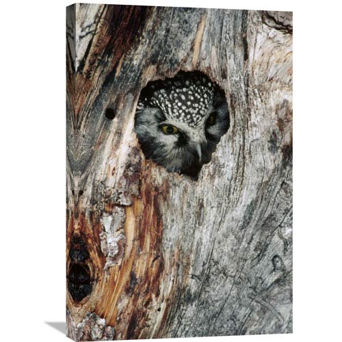 Global Gallery Boreal Owl In Tree Cavity In The Winter, Alaska By Michael Quinton, 30 X 20-Inch Wall Art