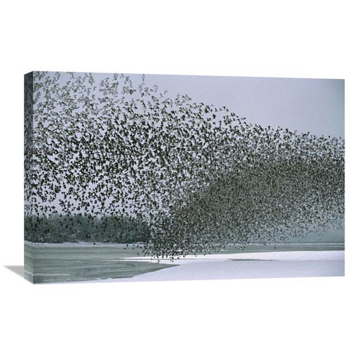 Global Gallery Western Sandpiper Flock Migrating, Spring, Copper River Delta Alaska By Michael Quinton, 20 X 30-Inch Wall Art