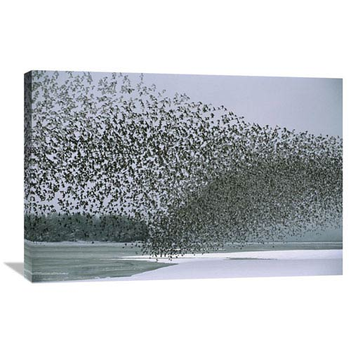 Global Gallery Western Sandpiper Flock Migrating, Spring, Copper River Delta Alaska By Michael Quinton, 24 X 36-Inch Wall Art