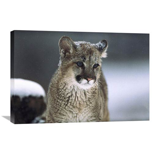 Global Gallery Mountain Lion Cub In Snow, Montana By Tim Fitzharris, 20 X 30-Inch Wall Art