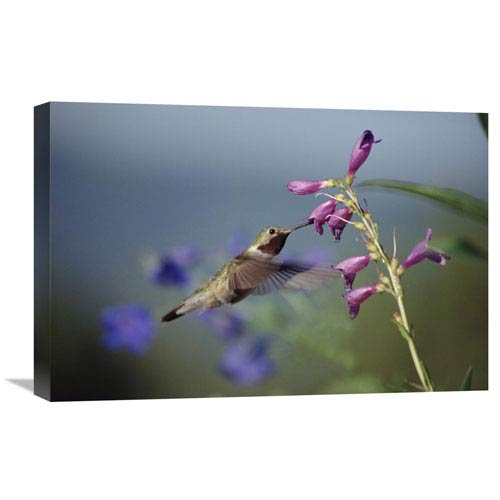 Global Gallery Broad Tailed Hummingbird Feeding On Flowers, New Mexico By Tim Fitzharris, 16 X 24-Inch Wall Art
