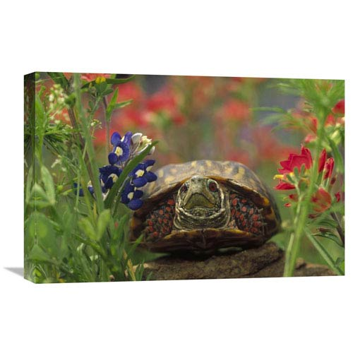 Global Gallery Western Box Turtle Among Lupine And Indian Paintbrush, North America By Tim Fitzharris, 16 X 24-Inch Wall Art