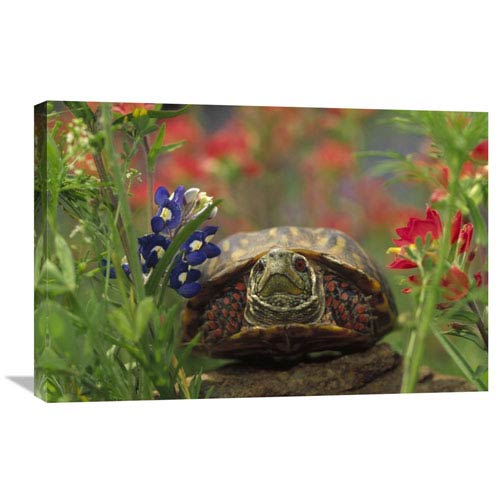 Global Gallery Western Box Turtle Among Lupine And Indian Paintbrush, North America By Tim Fitzharris, 20 X 30-Inch Wall Art
