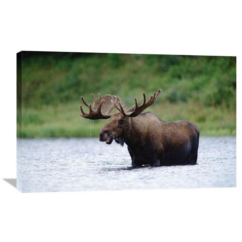 Global Gallery Moose Male Raising Its Head While Feeding In Lake, North America By Tim Fitzharris, 24 X 36-Inch Wall Art