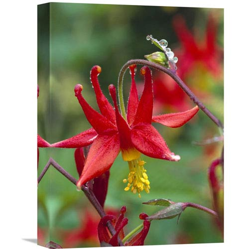 Global Gallery Wild Columbine With Drops Of Dew, North America By Tim Fitzharris, 16 X 12-Inch Wall Art