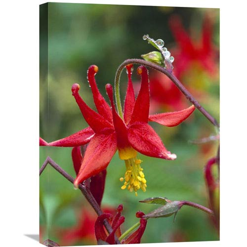 Global Gallery Wild Columbine With Drops Of Dew, North America By Tim Fitzharris, 24 X 18-Inch Wall Art