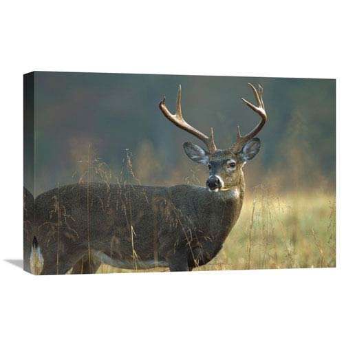 Global Gallery White Tailed Deer Portrait, North America By Tim Fitzharris, 16 X 24-Inch Wall Art