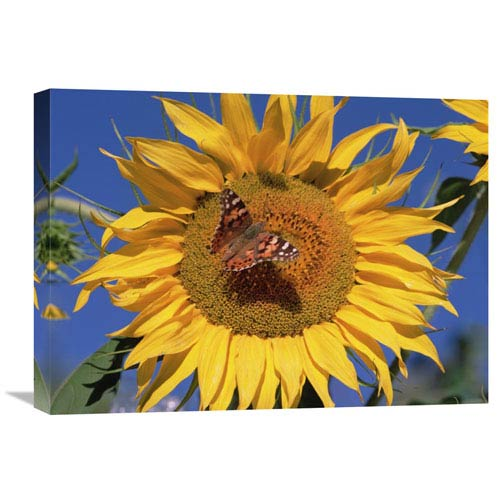 Global Gallery Painted Lady Butterfly On Sunflower, New Mexico By Tim Fitzharris, 18 X 24-Inch Wall Art