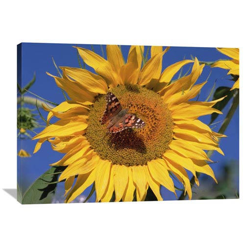 Global Gallery Painted Lady Butterfly On Sunflower, New Mexico By Tim Fitzharris, 30 X 40-Inch Wall Art