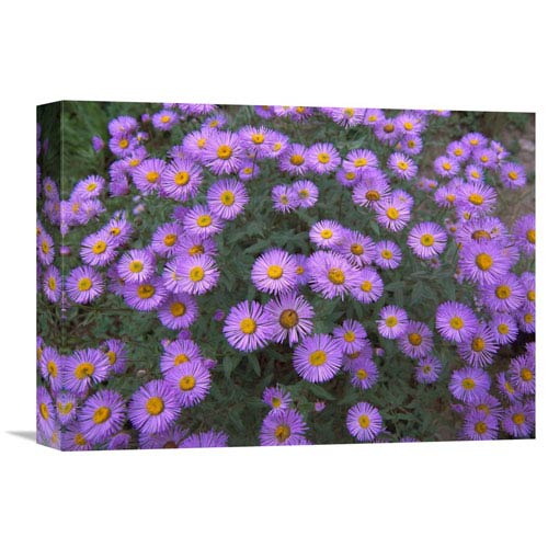 Global Gallery Smooth Aster Plant In Full Summer Bloom, Colorado By Tim Fitzharris, 12 X 16-Inch Wall Art