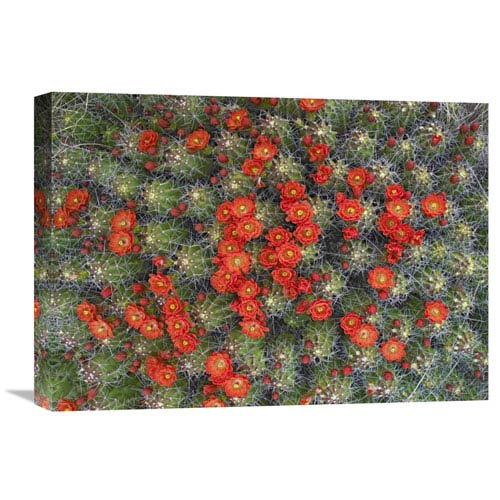 Global Gallery Claret Cup Cactus Detail Of Flowers In Bloom, North America By Tim Fitzharris, 15 X 22-Inch Wall Art