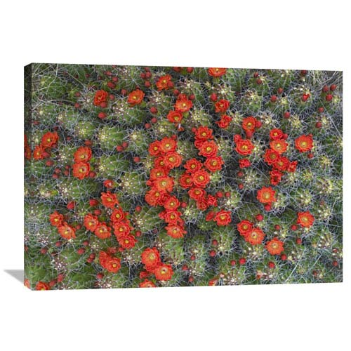 Global Gallery Claret Cup Cactus Detail Of Flowers In Bloom, North America By Tim Fitzharris, 25 X 36-Inch Wall Art