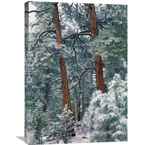 Global Gallery Ponderosa Pine Forest After Fresh Snowfall, Rocky Mountain Np, Colorado By Tim Fitzharris, 30 X 21-Inch Wall