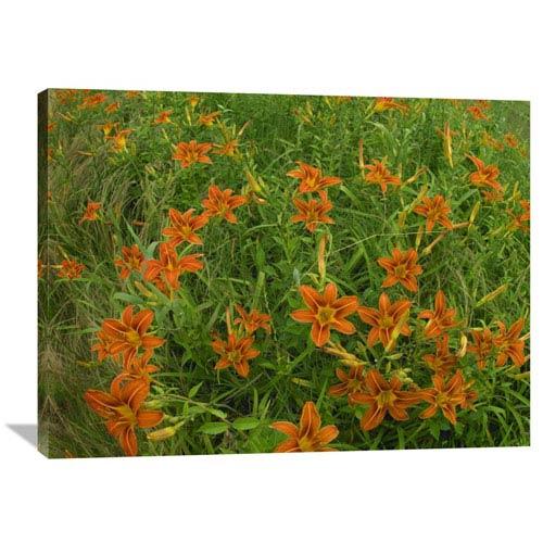 Global Gallery Orange Daylily Growing In Meadow, North America By Tim Fitzharris, 30 X 40-Inch Wall Art