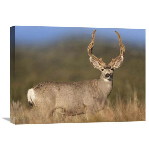 Global Gallery Mule Deer Male In Dry Grass, North America By Tim Fitzharris, 18 X 24-Inch Wall Art