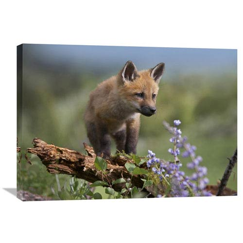 Global Gallery Red Fox Kit Climbing North America By Tim Fitzharris  Inch Wall Art