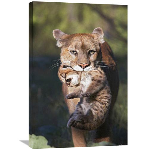 Global Gallery Mountain Lion Mother Carrying Cub In Her Mouth, North America By Tim Fitzharris, 30 X 20-Inch Wall Art