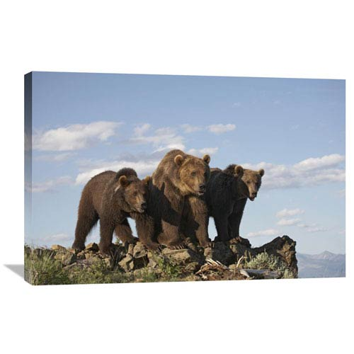 Global Gallery Grizzly Bear With Two One Year Old Cubs, North America By Tim Fitzharris, 24 X 36-Inch Wall Art
