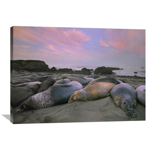 Global Gallery Northern Elephant Seals, Point Piedra Blancas, California By Tim Fitzharris, 30 X 40-Inch Wall Art