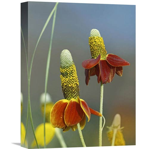 Global Gallery Mexican Hat Flowers In Bloom, North America By Tim Fitzharris, 16 X 12-Inch Wall Art