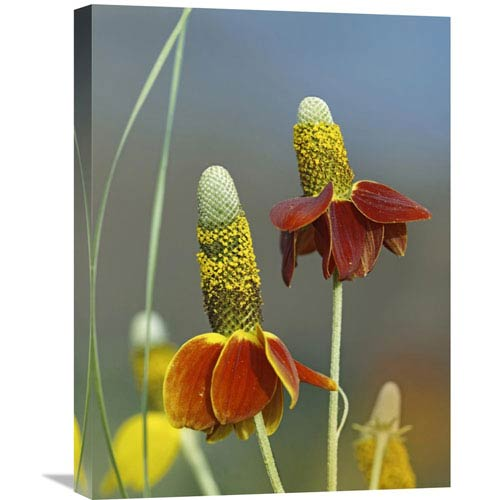 Global Gallery Mexican Hat Flowers In Bloom, North America By Tim Fitzharris, 24 X 18-Inch Wall Art