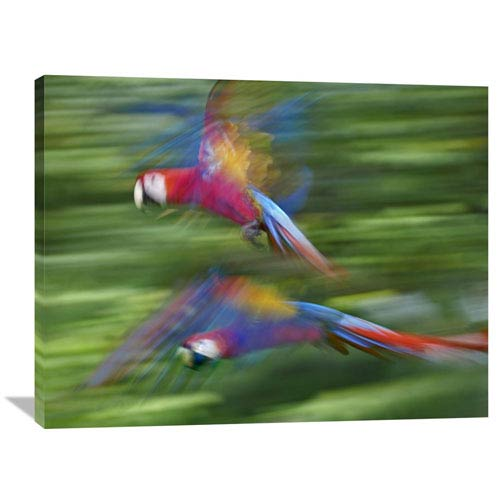 Global Gallery Scarlet Macaw Pair Flying, Costa Rica By Tim Fitzharris, 30 X 40-Inch Wall Art