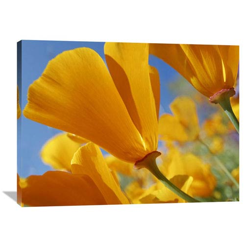 Global Gallery California Poppy Flowers, Antelope Valley, California By Tim Fitzharris, 30 X 40-Inch Wall Art