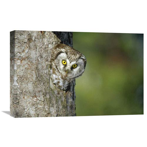Global Gallery Boreal Owl Peaking Through Hole In Tree, Sweden By Konrad Wothe, 16 X 24-Inch Wall Art