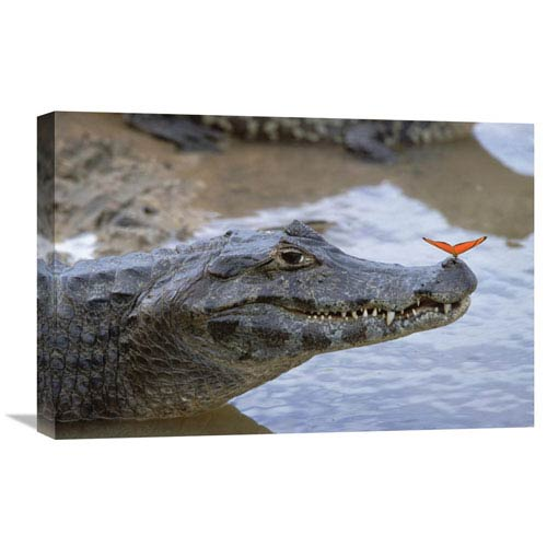 Global Gallery Spectacled Caiman With Orange Butterfly, Pantanal, Brazil By Konrad Wothe, 16 X 24-Inch Wall Art