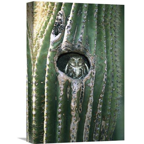 Global Gallery Ferruginous Pygmy Owl In Saguaro Cactus, Altar Valley, Arizona By Tom Vezo, 18 X 12-Inch Wall Art