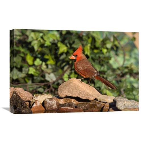 Global Gallery Northern Cardinal Male, Santa Rita Mountains, Arizona By Tom Vezo, 16 X 24-Inch Wall Art