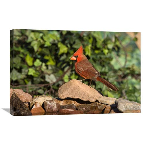 Global Gallery Northern Cardinal Male, Santa Rita Mountains, Arizona By Tom Vezo, 20 X 30-Inch Wall Art