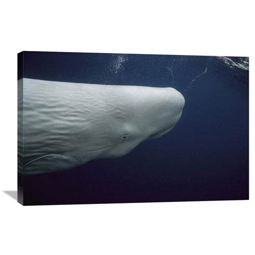 Global Gallery Sperm Whale White Morph Portrait, Azores Islands, Portugal By Hiroya Minakuchi, 24 X 36-Inch Wall Art