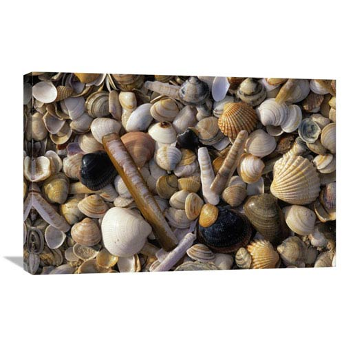 Global Gallery Selection Of Bivalve Shells By Jan Vermeer, 20 X 30-Inch Wall Art