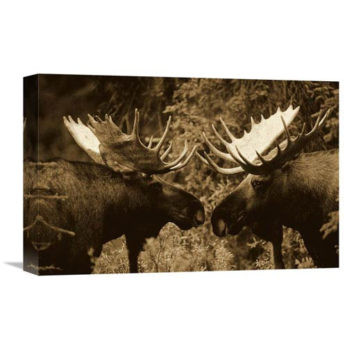 Global Gallery Alaska Moose Males Confronting Each Other In The Fall, Alaska By Michael Quinton, 12 X 18-Inch Wall Art