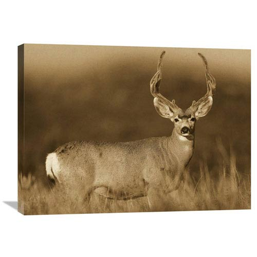 Global Gallery Mule Deer Male In Dry Grass, North America By Tim Fitzharris, 24 X 32-Inch Wall Art