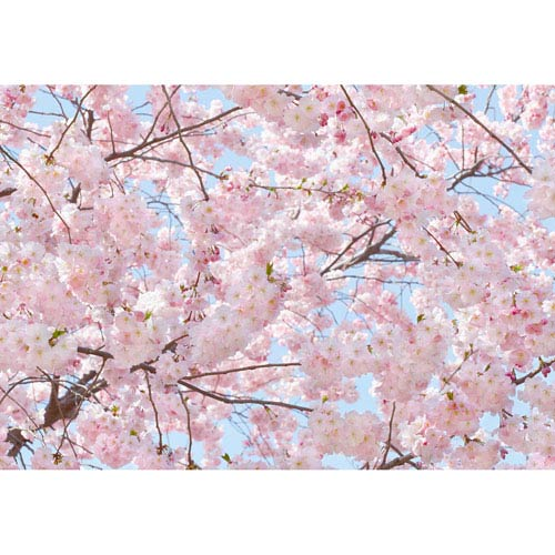 Pink Blossoms Wall Mural