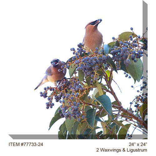 West Of The Wind Designs 2 Waxwings and Ligustrum by Harry Bowden: 24 x 24 Outdoor Canvas Art