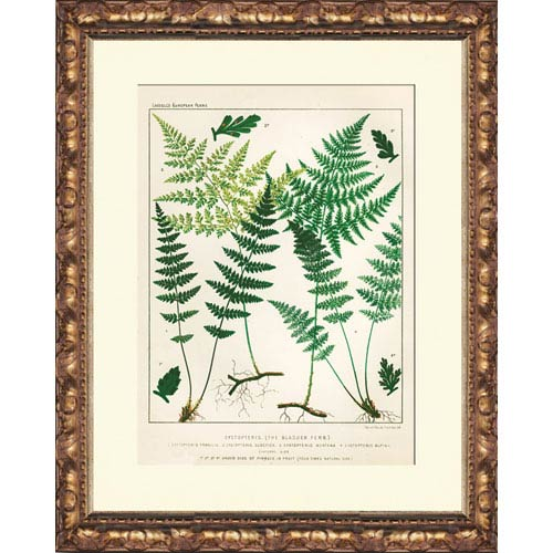 Cystopteris: 14 x 16 Framed Giclee Canvas