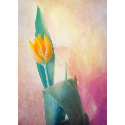 Hadley House Point Tip Tulip by Hal Halli, 9 x 12 In. Canvas Art