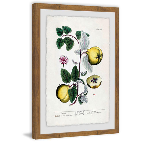 Marmont Hill Herbal Fruit Cydonea 18 x 12 In. Framed Painting Print